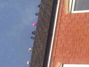 O růžovém holubovi